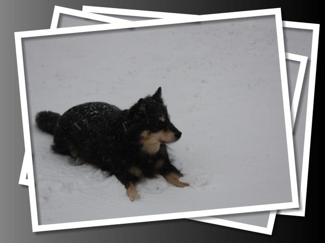 Kirahunden i haven Lillejuleaften 2012. Juleaftensdag var sneen smeltet igen!
